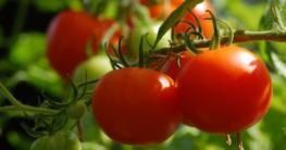 Balkongemüse Tomaten